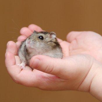 As crianças não devem ter hamsters, porco-espinho nem tartarugas em casa